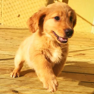 Golden Retriever in kennel